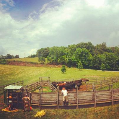 farm cattle