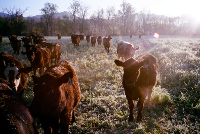 Morning Cattle
